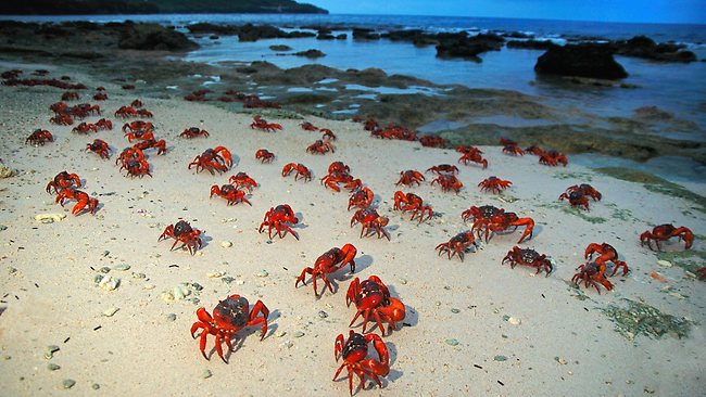 kirimati_lrg 071301 christmas island red crab migration - Why Is It Called Christmas